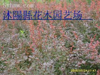 沭阳/红叶小檗