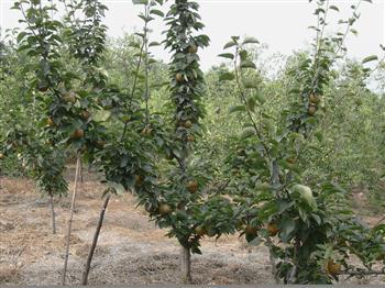 供应核桃树,苹果树,桃树