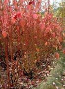 沭阳/红端木