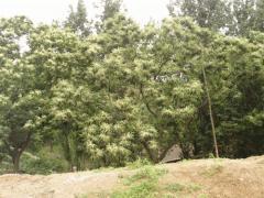 万敏/栗树