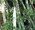供应粉单竹苗
