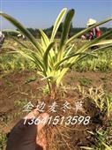 金边麦冬草